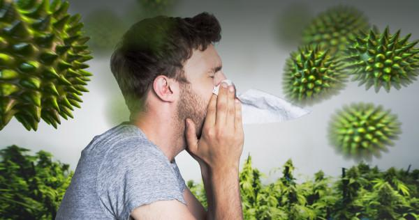 Cannabis_allergy_WIDE-600x316