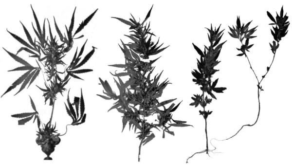 Figure-1-Type-specimens-of-C-sativa-NLH-C-indica-NLD-and-C-ruderalis-the-PA-or-NLHA-600x339