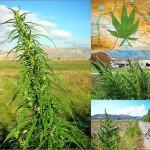 History-of-cannabis-in-series-Sensi-Seeds-blog-150x150