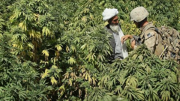 Marihuana-campos-de-indicas-780x438