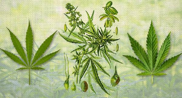 Naming-cannabis-Sensi-Seeds-blog-780x420