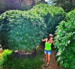 The-feminisation-of-the-world-of-cannabis-3-Sensi-Seeds-blog-250x229