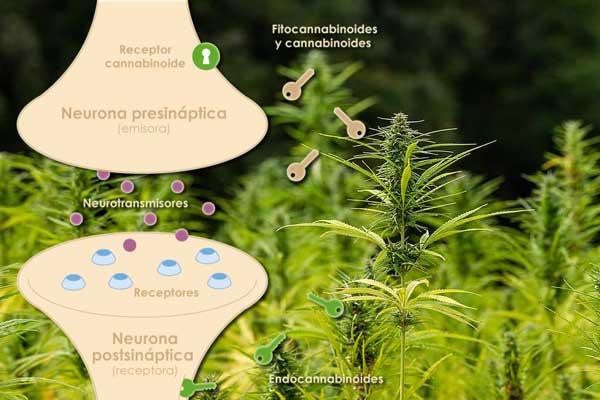 Como reacciona nuestro sistema endocannabinoide a los cannabinoides externos