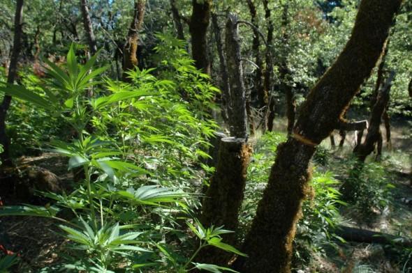 el-cambio-climtico-est-logrando-que-la-marihuana-sea-ms-fuerte-body-image-1433871570-590x392