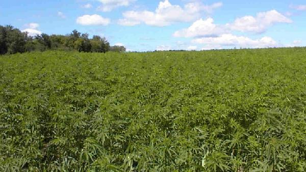 hemp_is_not_marijuana-780x438