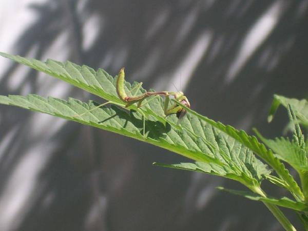 mantis-opengrow-com