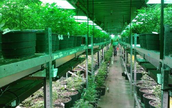 marihuana-269851_19201-696x522-696x438