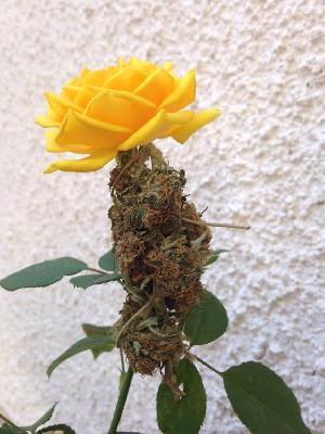 marihuana-amarilla