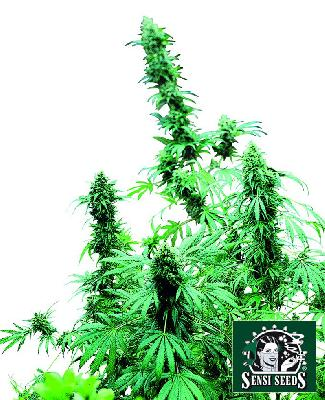 Early Skunk 25 Semillas Feminizadas