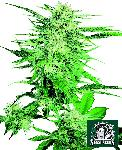Big Bud 10 Semillas Regulares