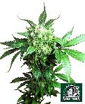 Black Domina 10 Semillas Regulares