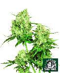 Maple Leaf 10 Semillas Regulares