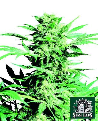 Shiva Skunk 10 Semillas Regulares