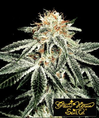 White Widow 10 Semillas