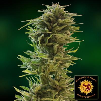 Amnesia Lemon 5 Semillas