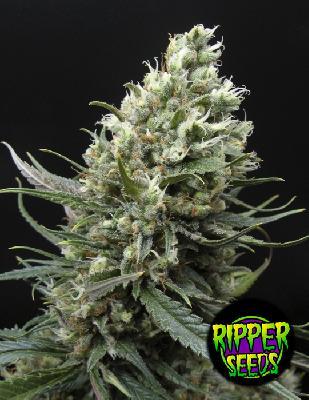 Ripper Haze 1 Semilla