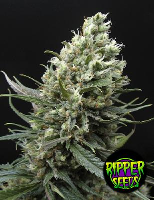 Ripper Haze 5 Semillas