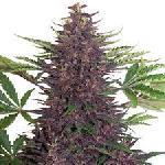 Purple Kush 1 Semilla