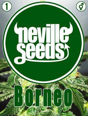 Borneo Regular 1 Semilla