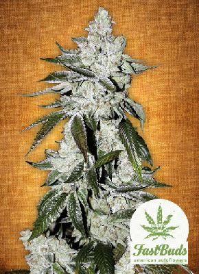 Girl Scout Cookies 5 Semillas