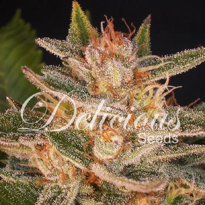 Cheese Candy 10 semillas