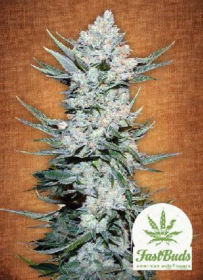 Tangie´matic 5 Semillas
