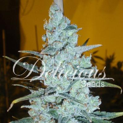 Critical jack herer 5 semillas