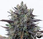 Purple Orange Cbd 1 Semilla