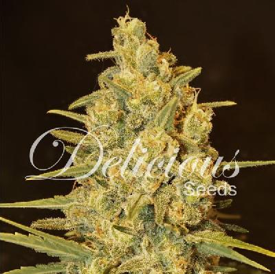 Critical sensi star 5 semillas