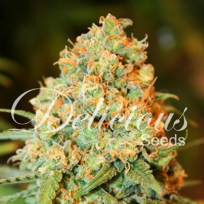 Critical super silver haze 5 semillas