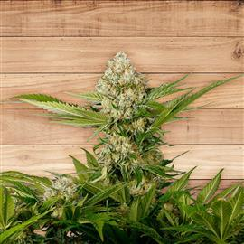 10 Und Fem - White Widow
