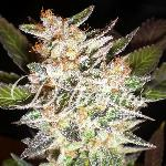 Cheese Candy AUTO 10 semillas