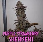 Purple Sherbert 5 Unidades