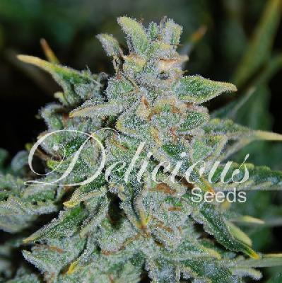 Northern Light Blue Auto 10 semillas