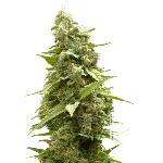 Ultra Hashplant 5 Semillas Feminizadas