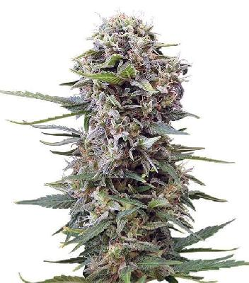 Auto Cheese 5 Semillas