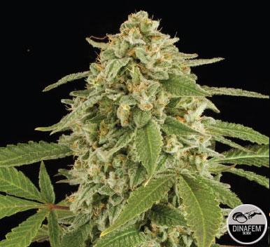 White widow 1 Semilla