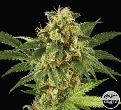 Kush´n´Cheese 10 Semillas