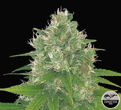 Power Kush 10 Semillas