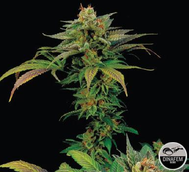 Blue Widow 5 Semillas