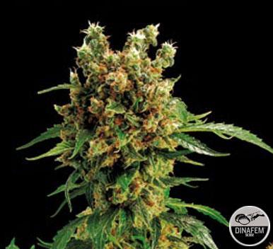 California Hashplant 1 Semilla