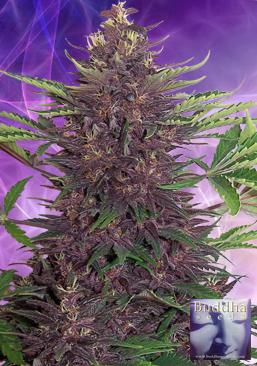 Purple Kush 5 Semillas