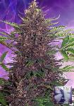 Purple Kush 5 Semillas
