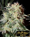 Arjan´s Strawberry Haze 5 Semillas