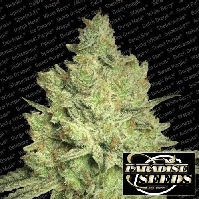 Jacky White 10 Semillas