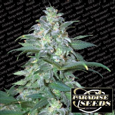 Magic Bud 5 Semillas