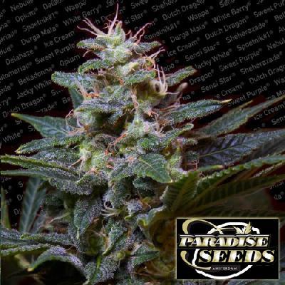 Sweet Purple 3 Semillas